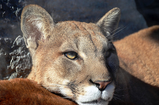 Dating term Cougar
